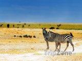 Zebry v národním parku Amboseli