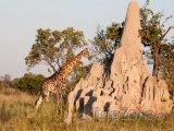 Žirafa u termitiště
