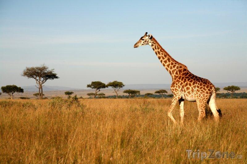 Fotka, Foto Žirafa v parku Masai Mara (Keňa)