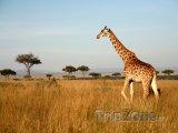 Žirafa v parku Masai Mara