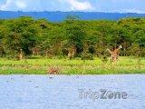 Žirafy u jezera Naivasha