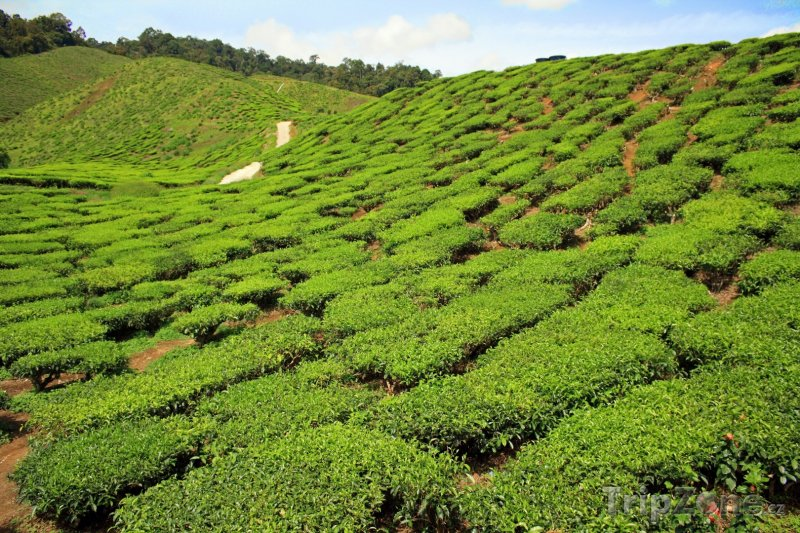 Fotka, Foto Čajová farma (Malajsie)
