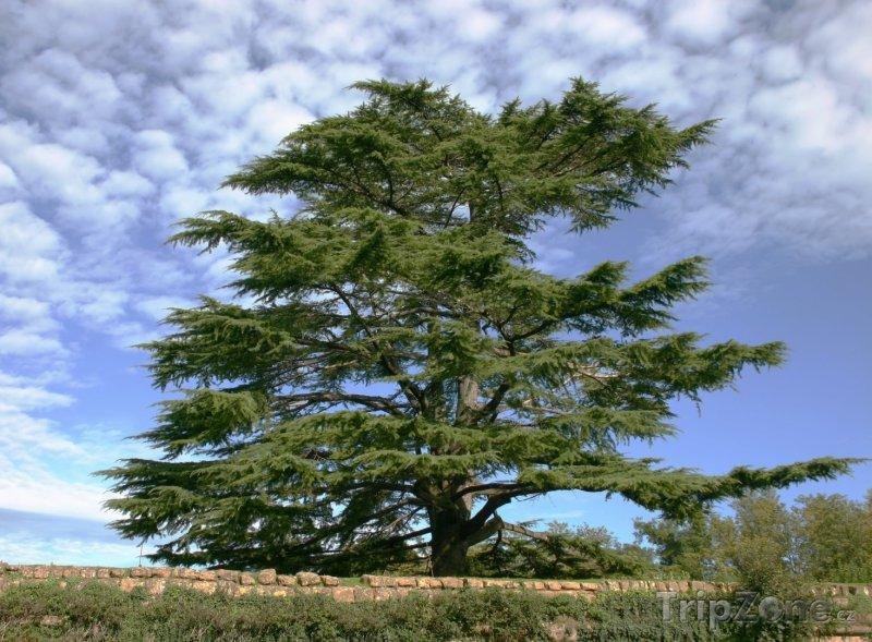 Fotka, Foto Cedr (Libanon)