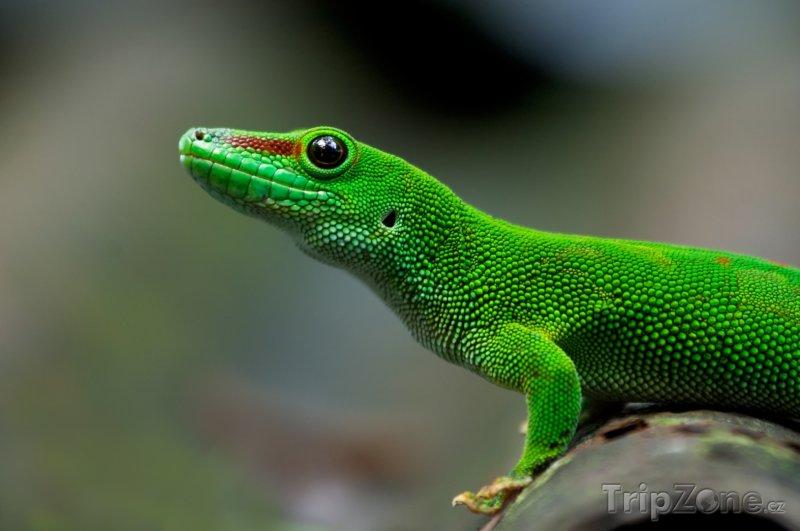 Fotka, Foto Gekonek (Madagaskar)