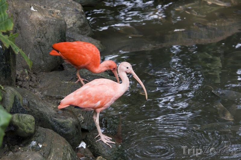 Fotka, Foto Ibis rudý, národní pták Trinidadu (Trinidad a Tobago)