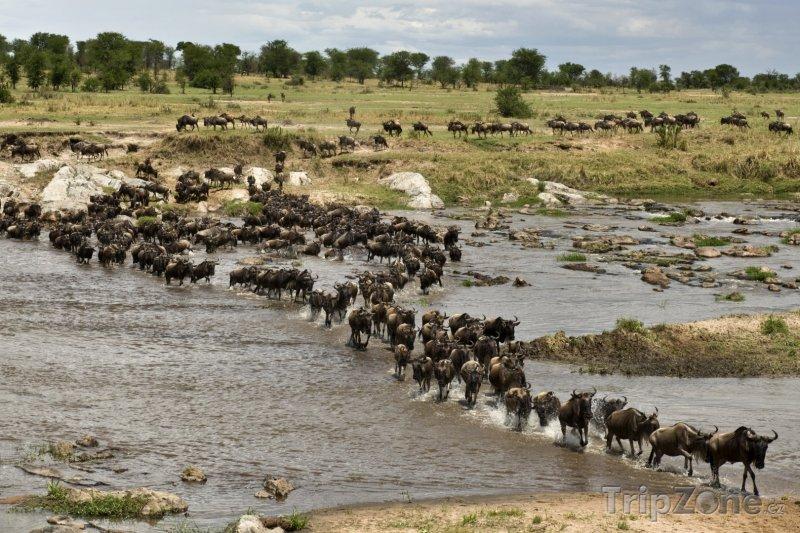 Fotka, Foto Národní park Serengeti, velká migrace pakoňů (Tanzanie)