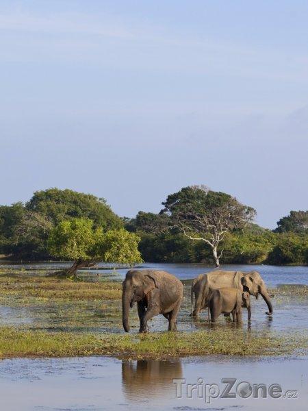 Fotka, Foto Národní park Yala, sloni v močále (Srí Lanka)