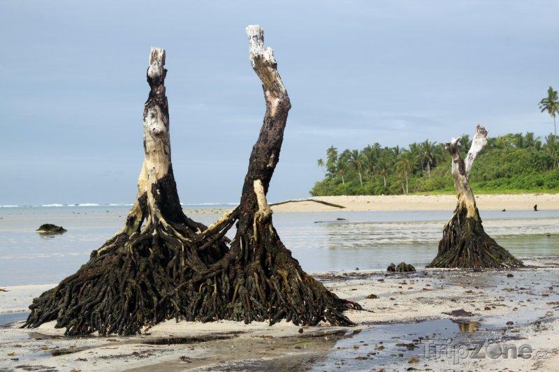 Fotka, Foto Palmové kmeny na ostrově Upolu (Samoa)