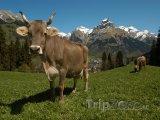 Pasoucí se krávy u města Engelberg