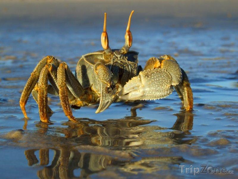 Fotka, Foto Písečný krab (Mosambik)