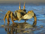 Písečný krab