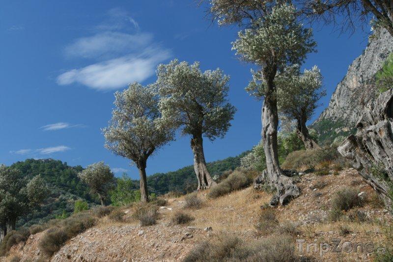 Fotka, Foto Samos, olivovníky (Řecko)