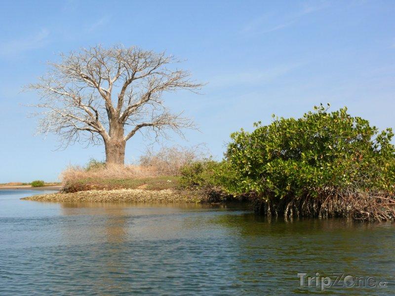 Fotka, Foto Strom Baobab v deltě řeky Saloum (Senegal)