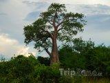 Strom v národním parku Kafue