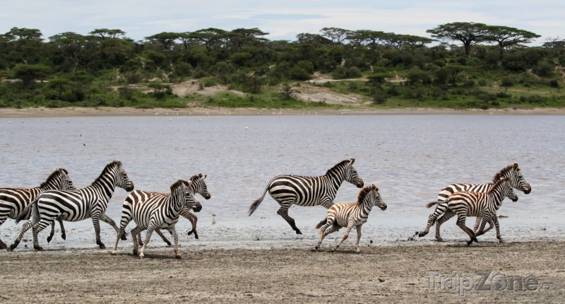 Fotka, Foto Zebry v národním parku Serengeti (Tanzanie)
