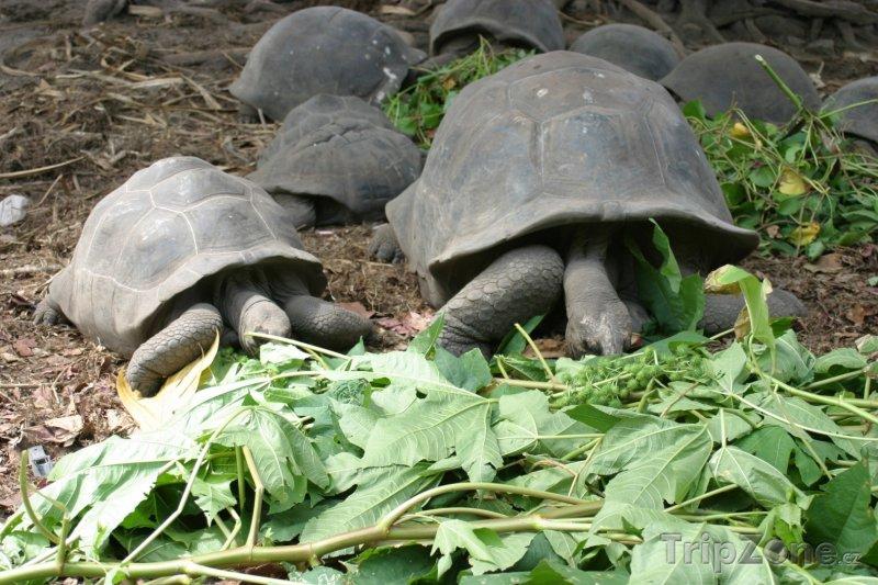 Fotka, Foto Želvy obrovské na ostrově La Digue (Seychely)
