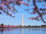 Kvetoucí třešeň a Washingtonův monument