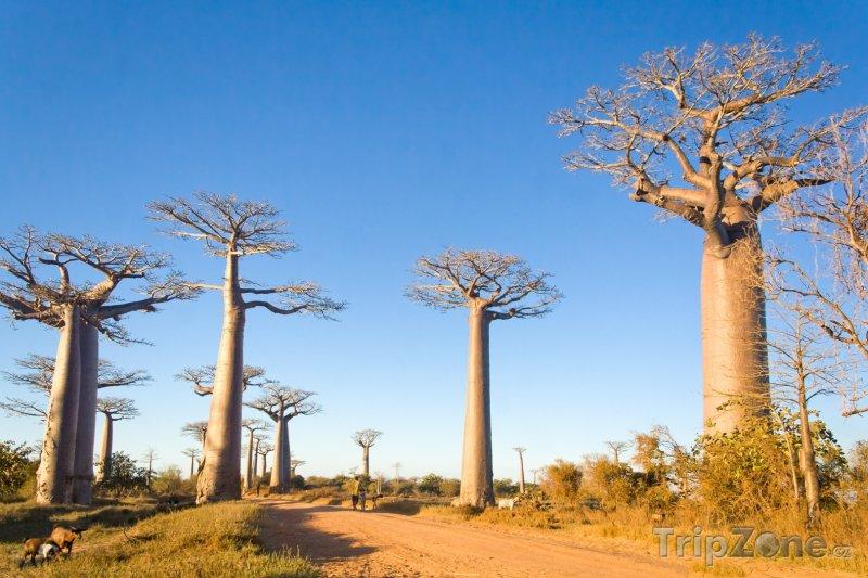 Fotka, Foto Morondava, alej baobabů (Madagaskar)