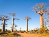 Morondava, alej baobabů