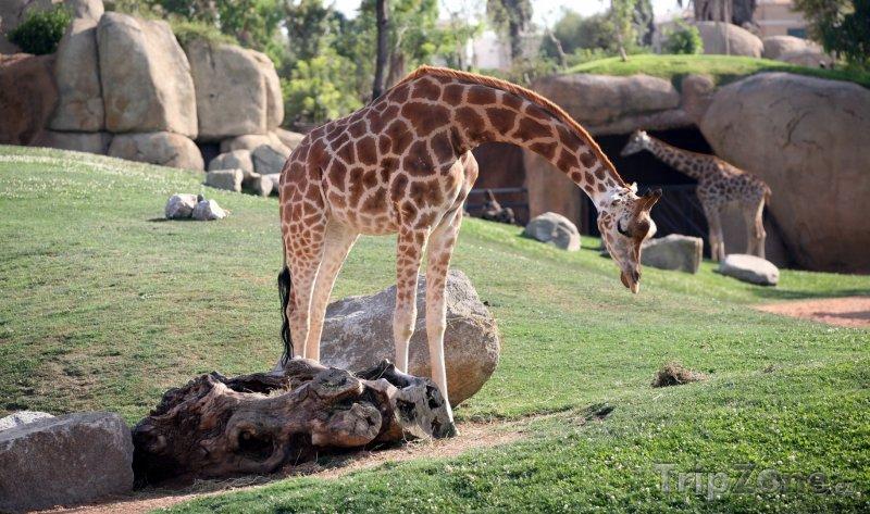 Fotka, Foto Žirafy v bio parku (Valencie, Španělsko)