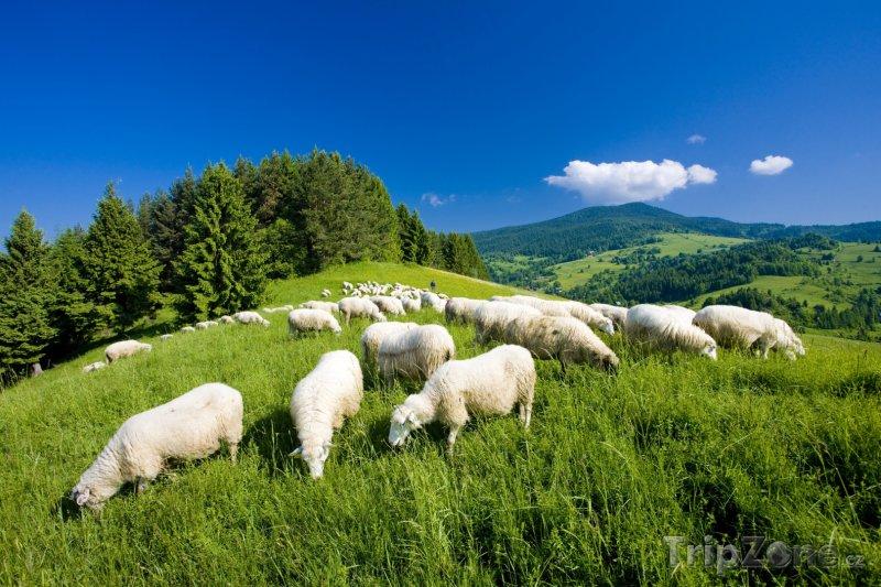 Fotka, Foto Malá Fatra, pasoucí se ovce (Slovensko)