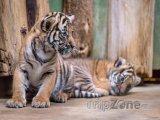 Mláďata tygra malajského, foto: Petr Hamerník, Zoo Praha
