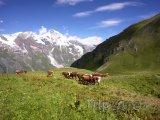 Alpy, krávy na pastvě