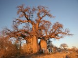 Baobab v poušti Kalahari