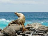 Galapágy, lachtan na kamenitém pobřeží