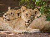 Lvi v národním parku Chobe
