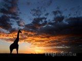 Žirafa na poušti Kalahari