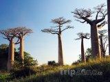 Baobaby v oblasti Morondava