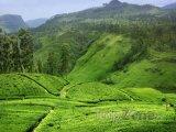 Čajové plantáže na Srí Lance