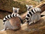 Dvojice lemurů kata