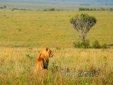Lev v Národní rezervaci Masai Mara