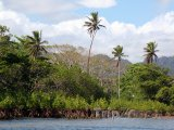 Mangrove na břehu řeky