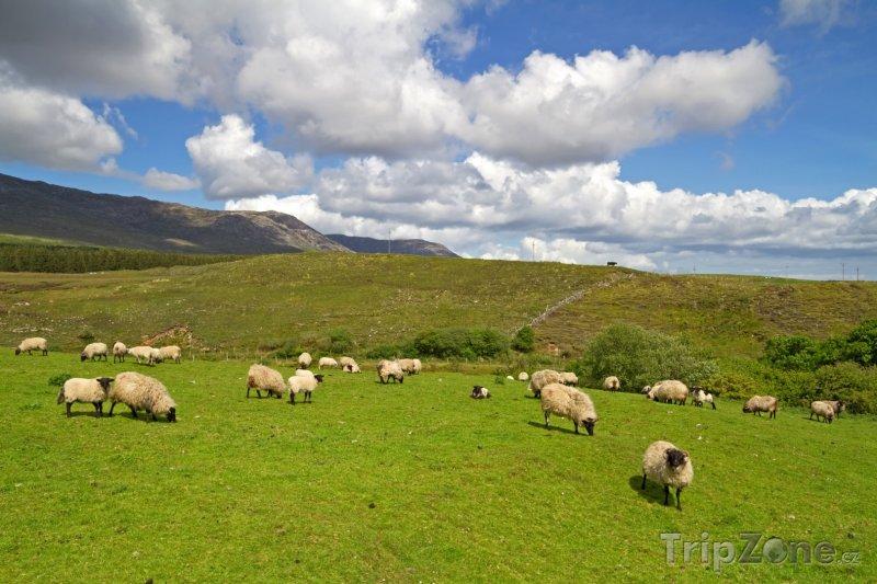 Fotka, Foto Ovce na pastvě v oblasti Connemara (Irsko)
