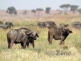 Stádo afrických buvolů v národním parku Serengeti