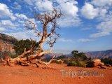 Uschlý strom v Grand Canyonu