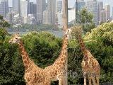 Žirafy v sydneyské zoo