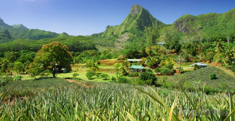 Fotka, Foto Ananasová plantáž na ostrově Moorea (Francouzská Polynésie)