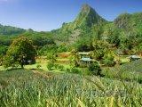 Ananasová plantáž na ostrově Moorea