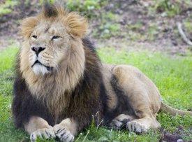 Lev indický v Národním parku Gir