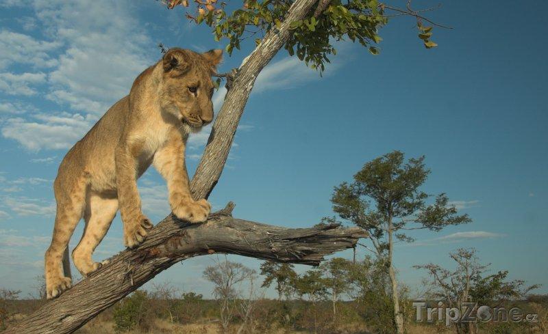 Fotka, Foto Lev na stromu (Namibie)