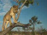 Lev na stromu