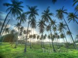 Palmy na ostrově Luzon