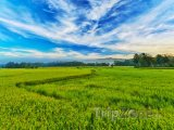 Panoráma rýžového pole