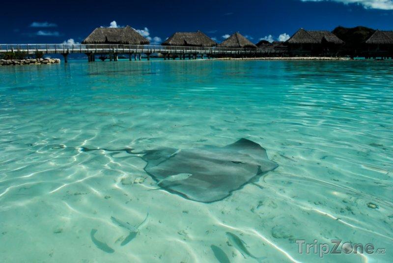 Fotka, Foto Rejnok u pláže na Bora Bora (Francouzská Polynésie)
