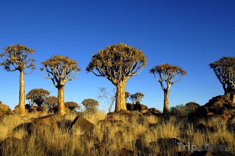 Fotka, Foto Rostliny Aloe dichotoma (Namibie)