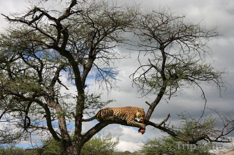Fotka, Foto Snídající leopard (Namibie)